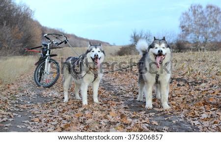 Alaskan malamute dogs - stock photo
