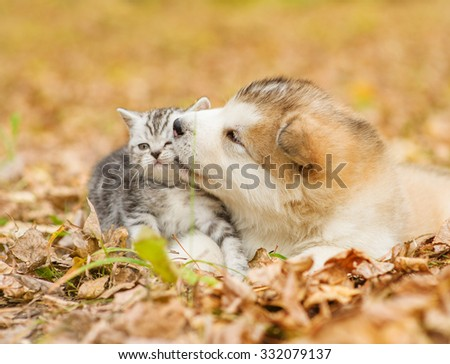 alaskan malamute puppy kissing scottish kitten in autumn park - stock photo