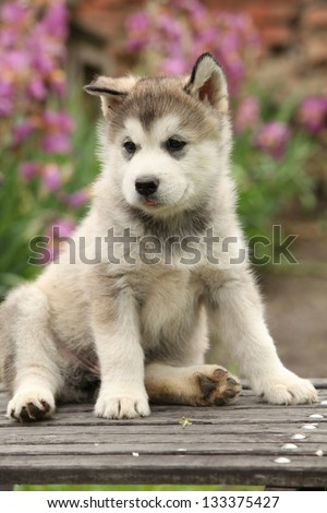 Alaskan Malamute puppy sitting in front of pink flowers - stock photo