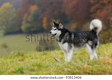 Alaskan Malamute standing in autumn over the meadow - stock photo