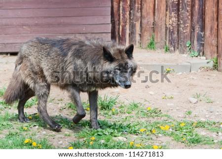 Alaskan wolf (C. Lupus pambasileus) - stock photo