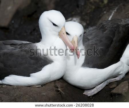 Albatross couple - stock photo