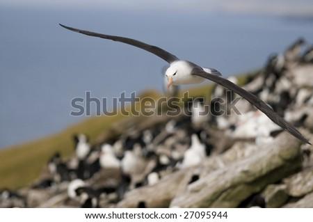 Albatross flying over colony - stock photo