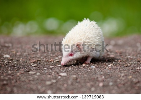 albino african hedgehog - stock photo