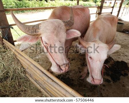 Albino buffalo - stock photo