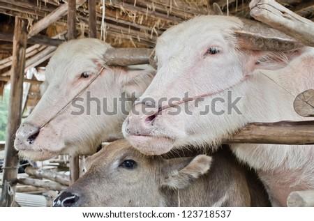 Albino buffalo (white buffalo) in Thailand - stock photo