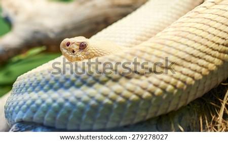 Albino Eastern diamondback rattlesnake , Crotalus adamanteus in a museum in genova - stock photo