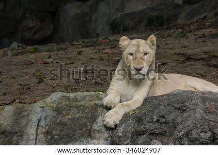 albino female lion sleep on the rock - stock photo