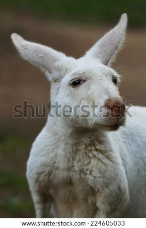 Albino Kangaroo Closeup - stock photo