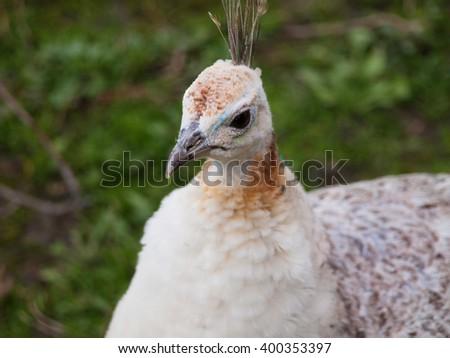 Albino peahen - head closeup - stock photo