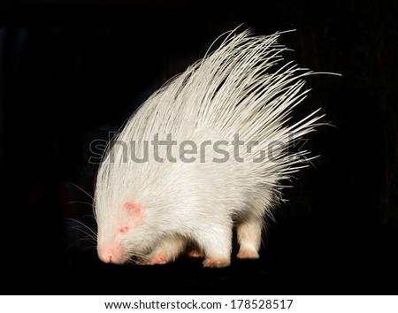 albino porcupine isolated on black background - stock photo