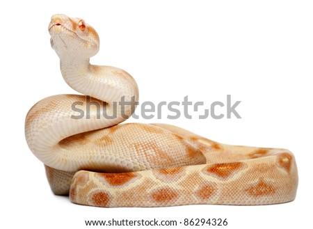 Albinos Boa constrictor, Boa constrictor, 2 months old, in front of white background - stock photo