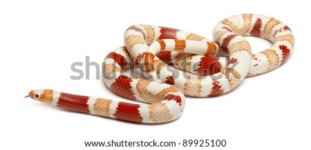 Albinos Honduran milk snake, Lampropeltis triangulum hondurensis, in front of white background - stock photo
