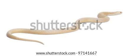 Albinos monocled cobra  - Naja kaouthia (poisonous), white background - stock photo