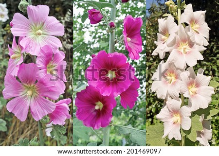 alcea rosea o hollyhock in three different shades of color - stock photo