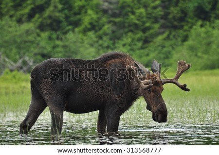 Alces Alces: A Moose standing in a lake in Algonquin National Park, Ontario, Canada - stock photo
