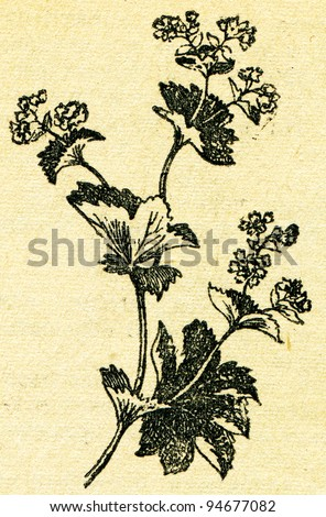 """Alchemilla - Lady's mantle - an illustration from the book """"In the wake of Robinson Crusoe"""", Moscow, USSR, 1946. Artist Petr Pastukhov - stock photo"""