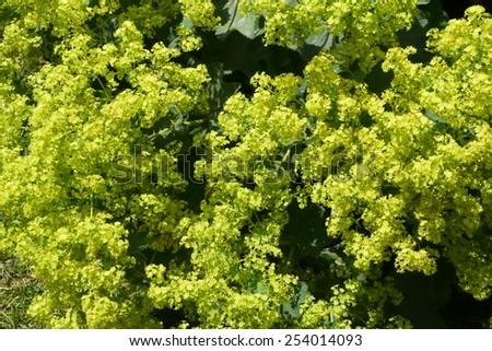 Alchemilla mollis (Lady's Mantle) - stock photo