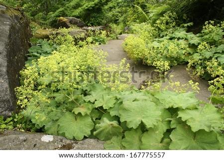 alchemilla vulgaris growing in rock garden - stock photo
