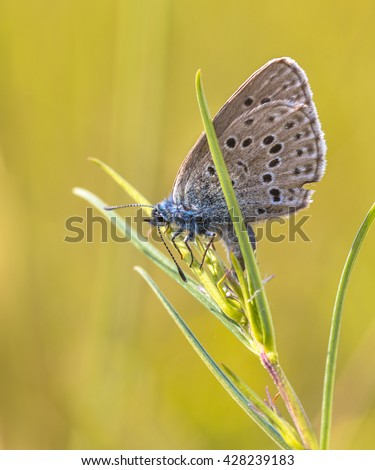 Alcon blue butterfly (Phengaris alcon) laying eggs on host plant Marsh Gentian (Gentiana pneumonanthe) - stock photo
