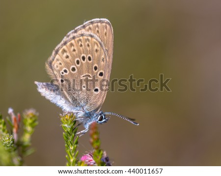 Alcon large blue butterfly (Phengaris alcon) resting in grassy vegetation. It can be seen flying in mid to late summer. Like some other species of Lycaenidae, its larva (caterpillar) depends on ants - stock photo