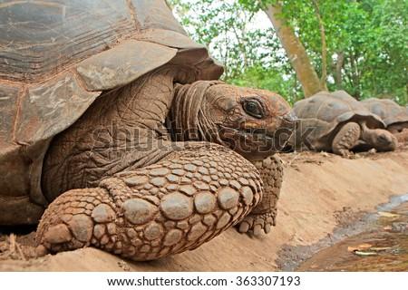 Aldabra giant tortoises (Aldabrachelys gigantea) on prison island, Zanzibar - stock photo