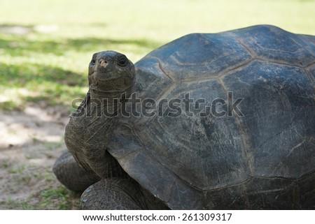 Aldabran seychelles giant tortoise. Close up shot - stock photo