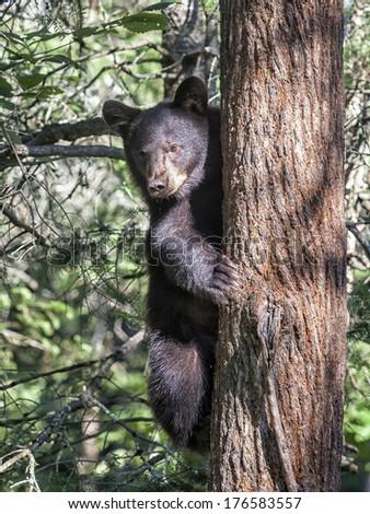 Alert American Black bear climbing a tree.  Summer in Minnesota - stock photo