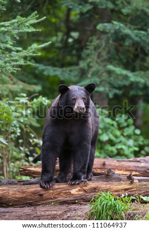 Alert American Black Bear standing on logs, looking off into the distance.  Summer in northern Minnesota. - stock photo