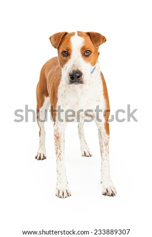 Alert Australian Cattle Mix Breed Dog standing while looking forward.  - stock photo