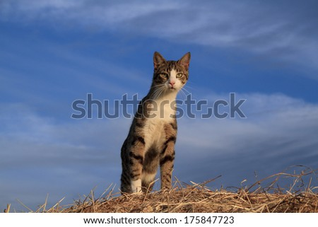 Alert cat posing alertly on top of a hay bale with blue skies behind - stock photo