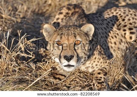 alert cheetah in africa - stock photo