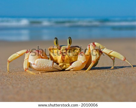 Alert ghost crab (Ocypode ryderi) on the beach, South Africa - stock photo