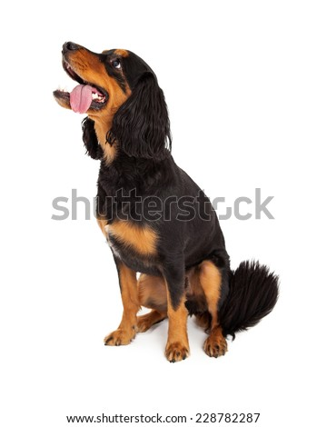 Alert Gordon Setter Mix Breed Dog sitting sideways.  Dog is looking to the side with its tongue hanging out of it mouth.  - stock photo