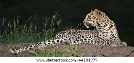 Alert leopard - stock photo