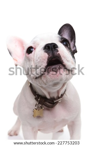 alert little french bulldog puppy barking to someone on white background - stock photo