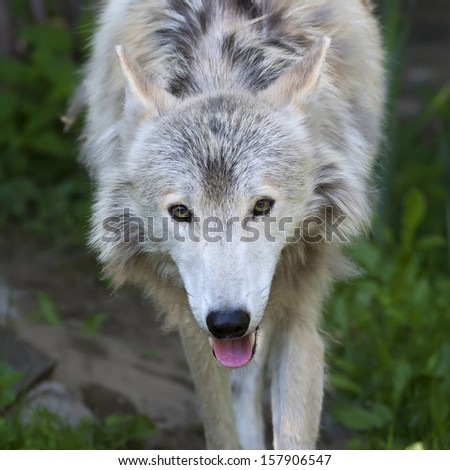Alert stare of a molting polar wolf female with pink tongue on green grass background. Arctic wild dog, representative of the severe wildlife of the cold North. - stock photo