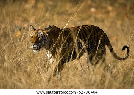 Alert wild Bengal tiger walking on short dry grass in Bandhavgarh  national park - stock photo