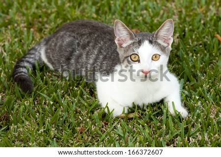 Alert young white and grey tabby cat lying on the grass - stock photo