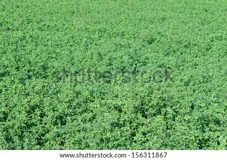 Alfalfa field ready for harvest - stock photo