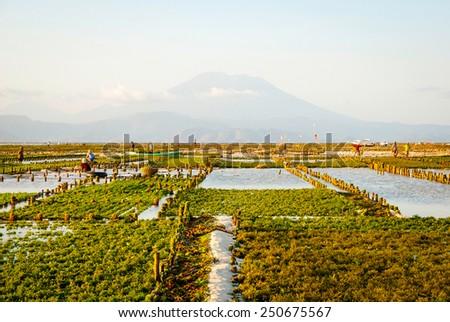 Algae farm field in Nusa Lembongan, Indonesia - stock photo