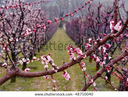 Alley of pink apricot trees in blossom - stock photo