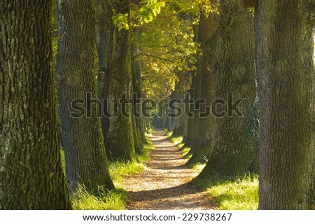 alley with footpath and old oak trees in Bavaria - stock photo