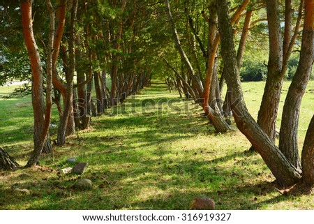 Alley with tall trees in the park - stock photo