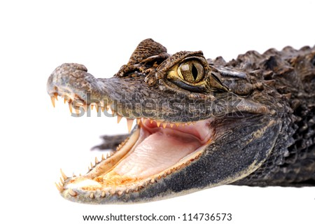 Alligator - stock photo