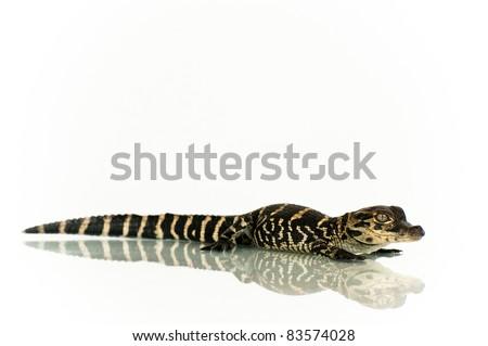 Alligator Hatchling - stock photo