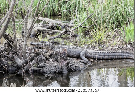 Alligator in a swamp - stock photo