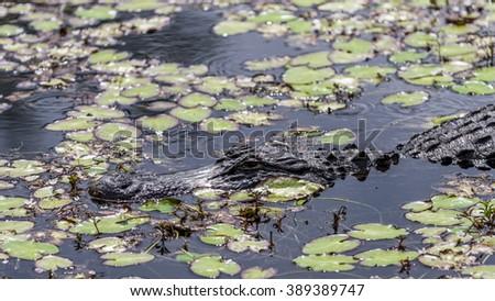 Alligator in a Swamp, Big Cypress, Florida - stock photo