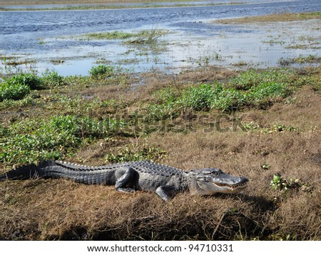 Alligator in the St. Johns River Florida - stock photo