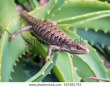 Alligator Lizard on Aloe - stock photo